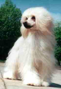 Obrázek čínský chcolatý pes 1