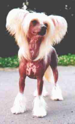Obrázek čínský chcolatý pes