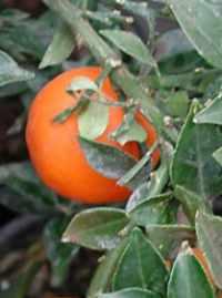 Obrázek pomeranč 2