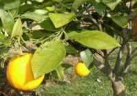 Obrázek pomeranč