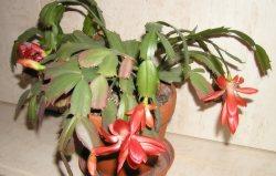 Obrázek vánoční_kaktus 2