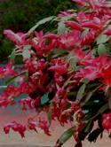 Obrázek vánoční_kaktus
