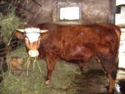 kráva.jpg